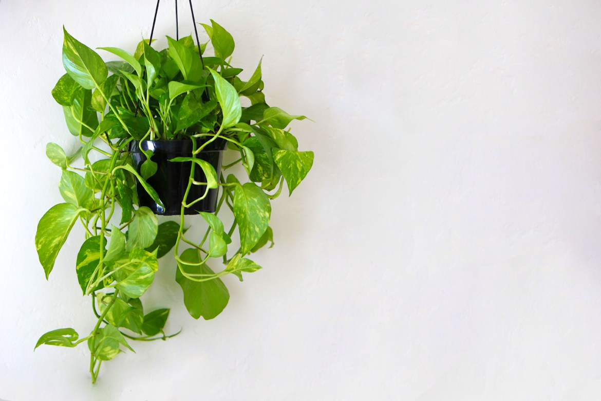 Hanging Golden Pothos