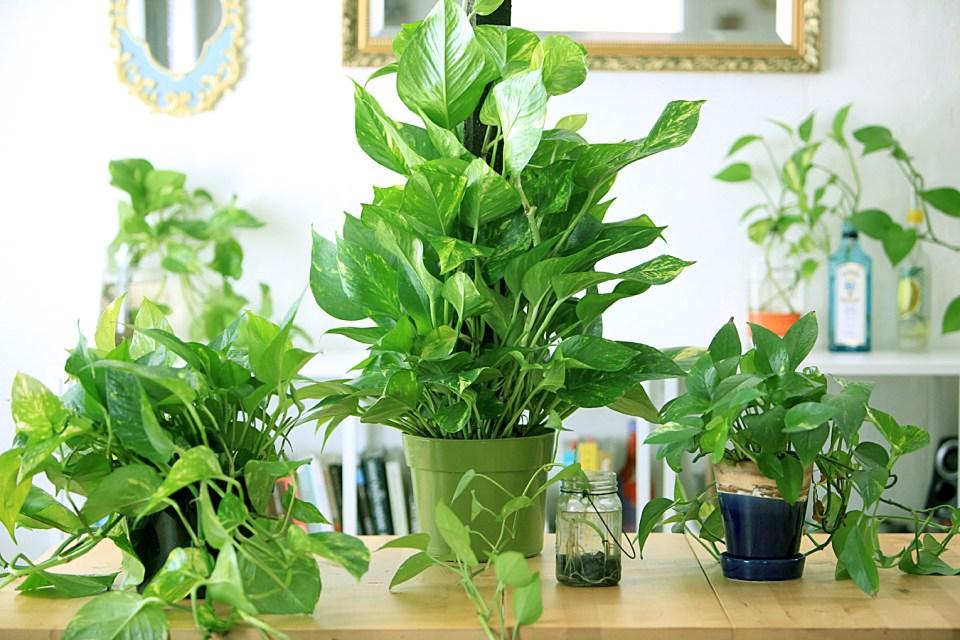 A few of my Pothos plants