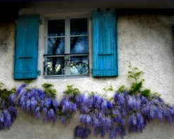 Wisteria Near Blue Shutters