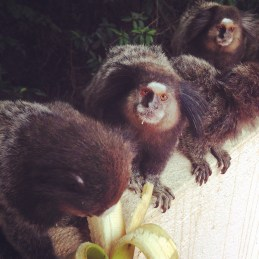 Feeding monkeys at breakfast