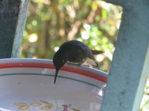 Hummingbird at Acaime