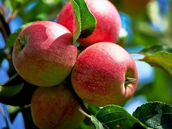 Шипучие яблоки