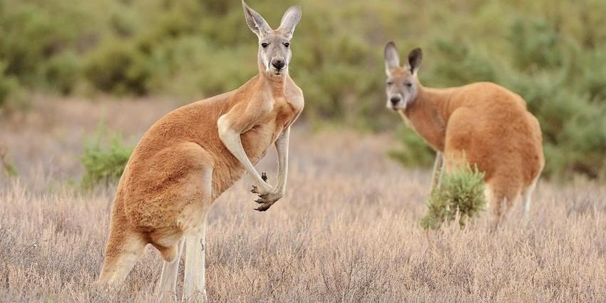 Дикие обитатели Австралии