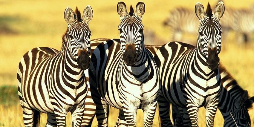 Черные или белые? Какого цвета зебры?