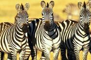 Черные или белые? Какой цвета зебры?