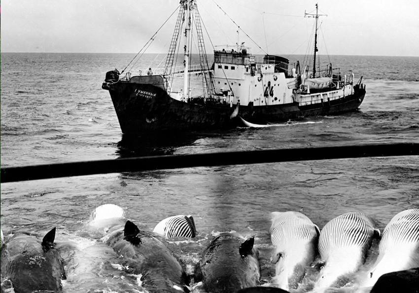 Синий кит. Крупнейшее млекопитающее на Земле