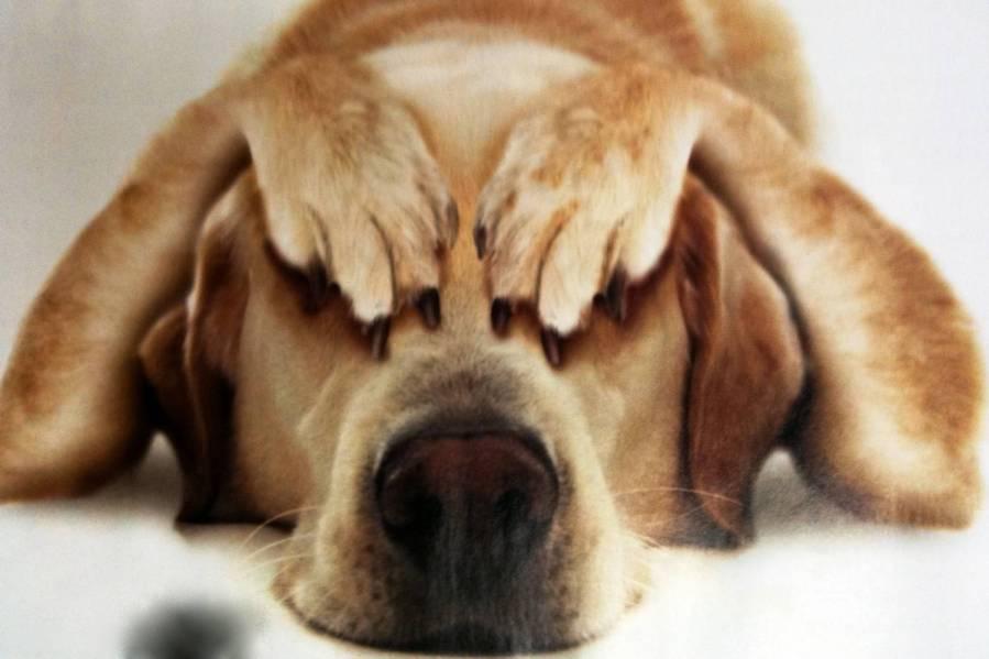 Почему собаки прячут хвост?