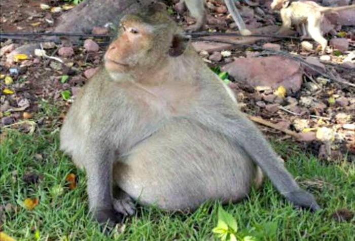 Эта обезьяна покажет вам, насколько опасным может быть обжорство