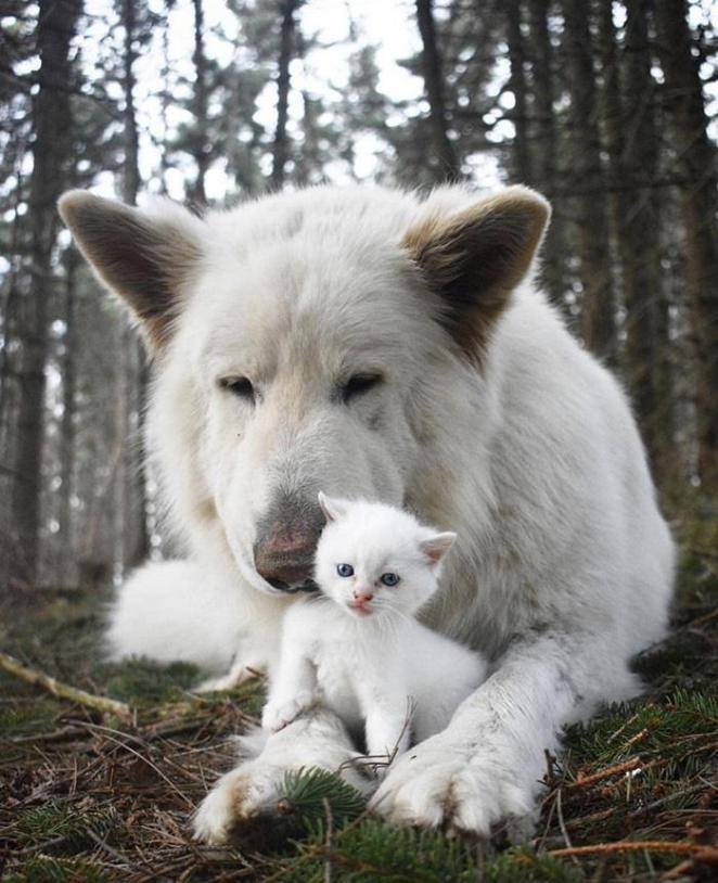 Белая немецкая овчарка и маленький котенок