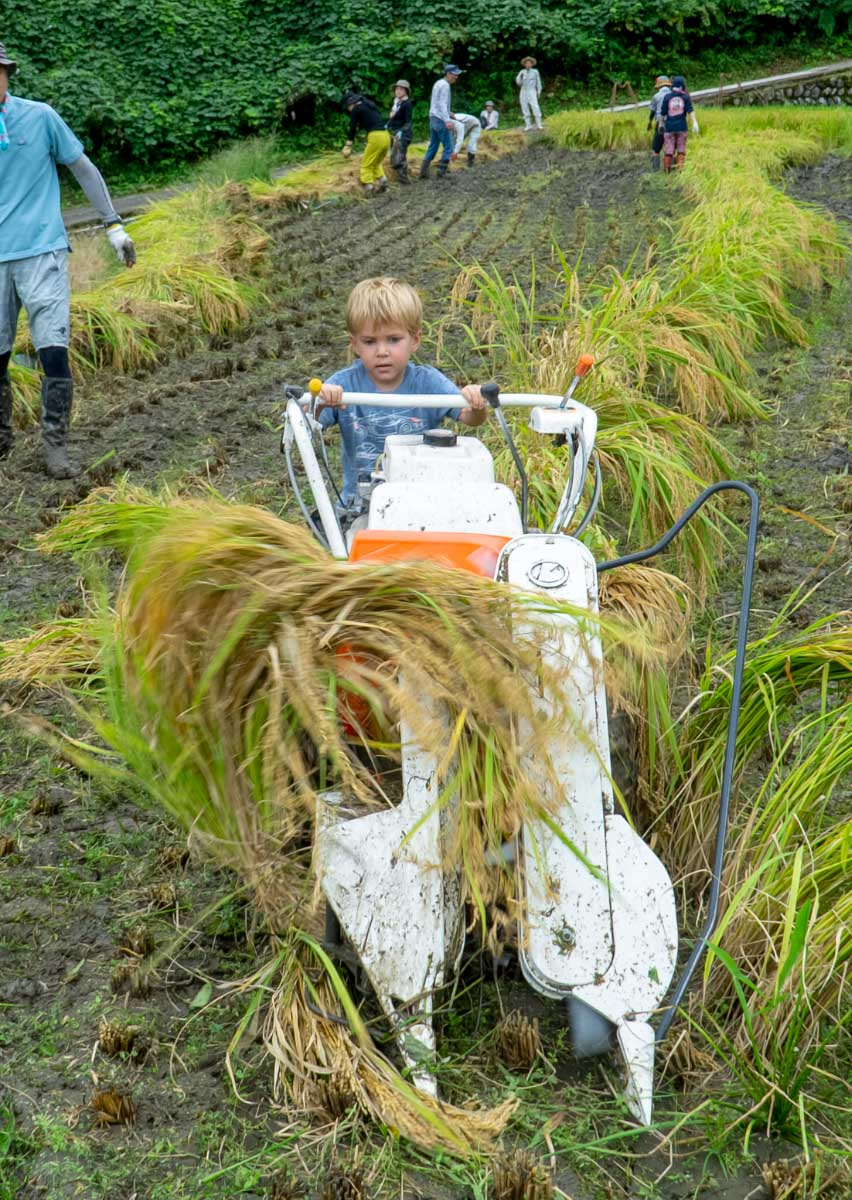 Rice Harvest, boy pushing combine