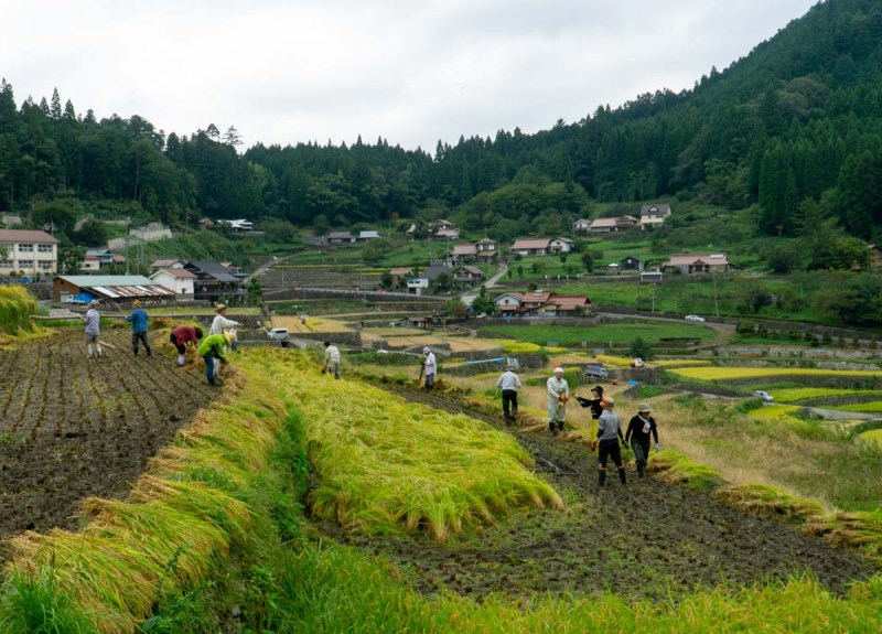 Rice Harvest, community working