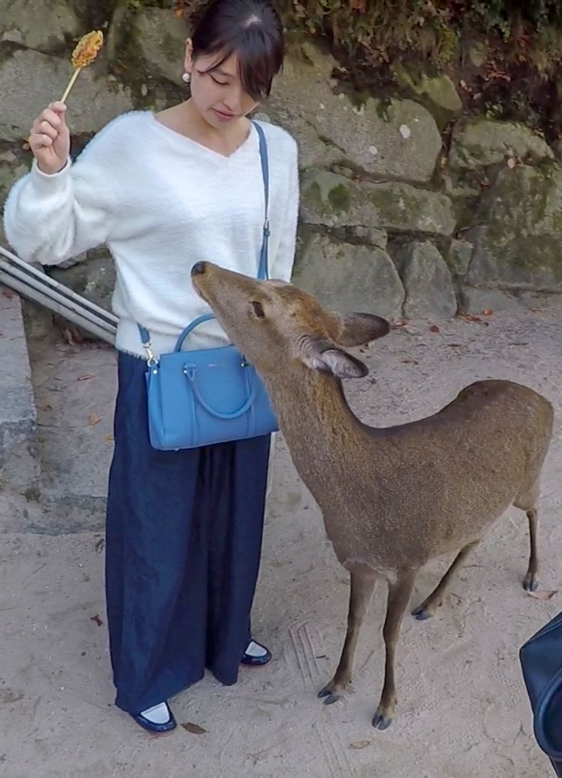 Miyajima-deer trying to eat food from woman