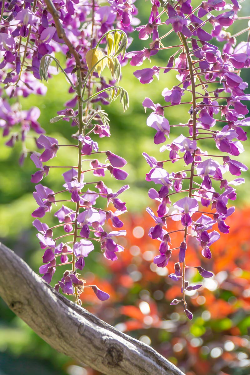 Wisteria tunnels flowers