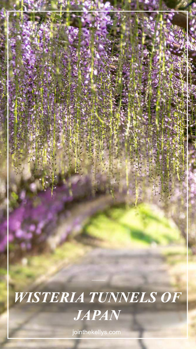Wisteria-tunnels-of-japan