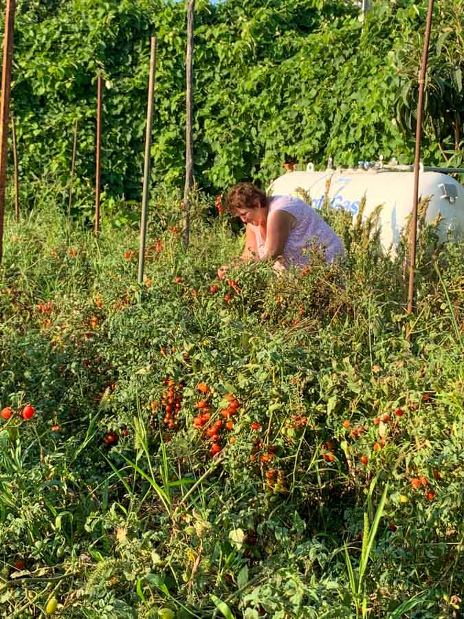 Hand picking fresh tomatoes for tomato sauce