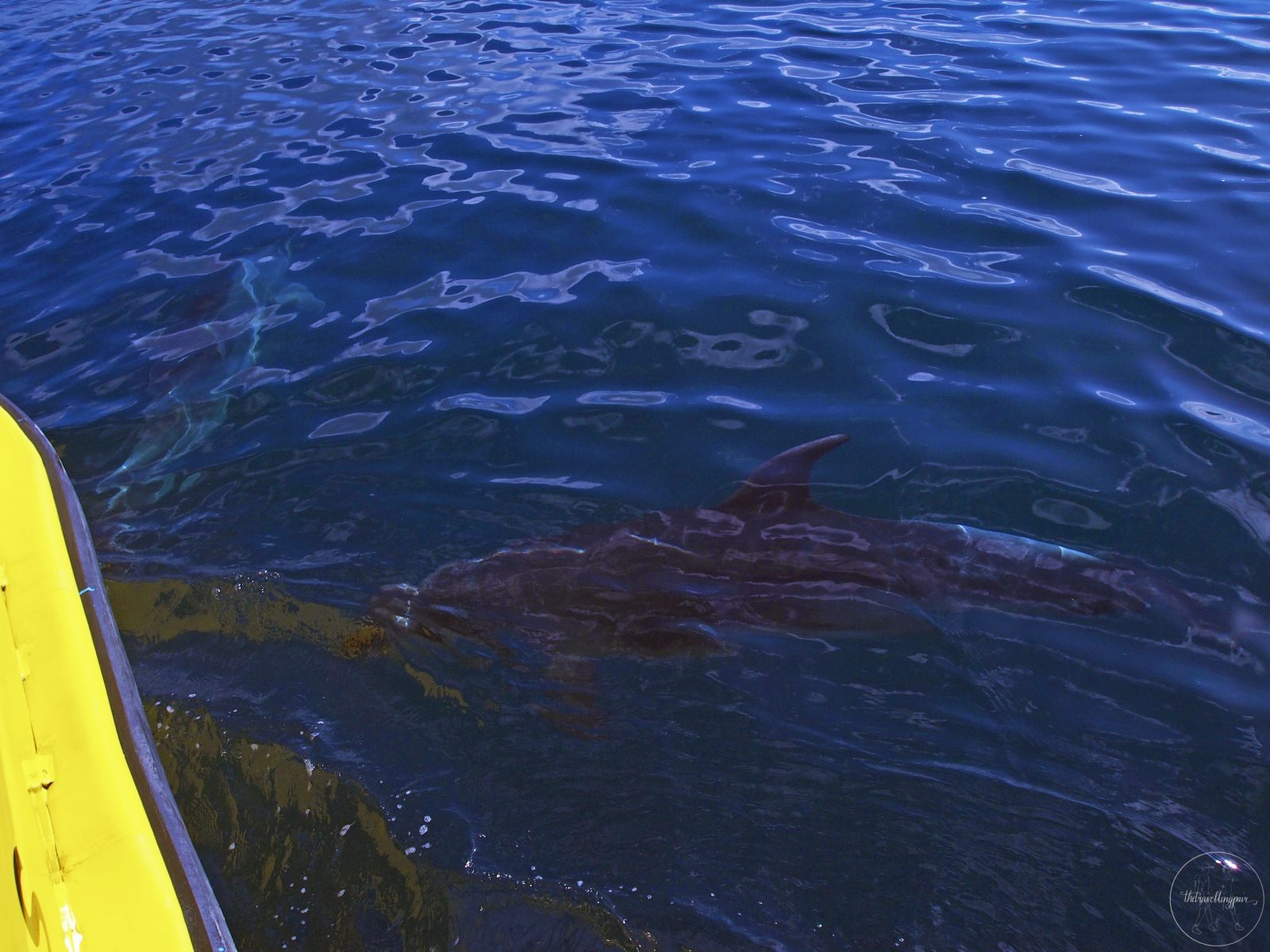 Dolphin at the Bay of Islands