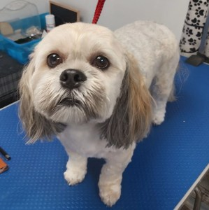 Lhasa Apso on a dog grooming table