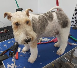 Fox Terrier on a dog grooming table