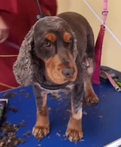 Cocker Spaniel on a dog grooming table