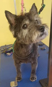 Cairn Terrier on a dog grooming table