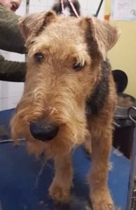 Welsh Terrier on a dog grooming table