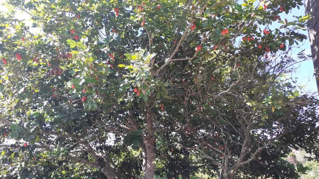 An ackee tree laden with ackees