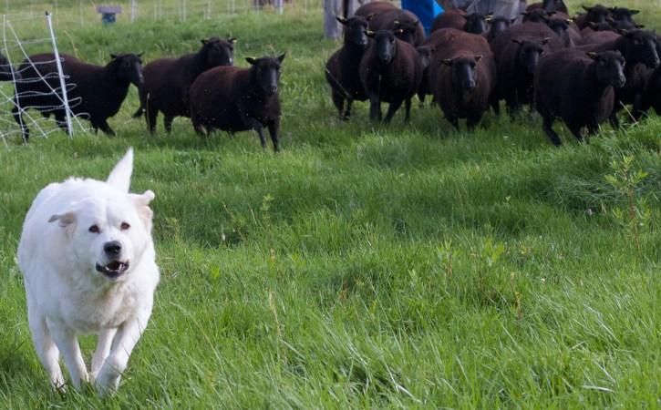 moutons-noirs-chien-blanc-singleton