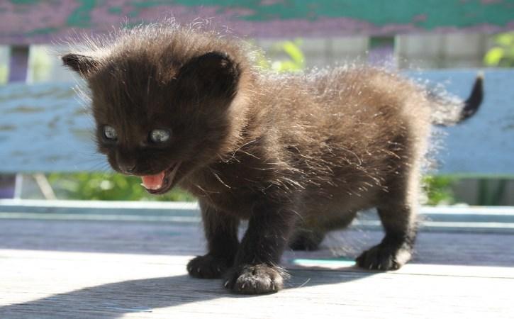 chaton-noir-vagir