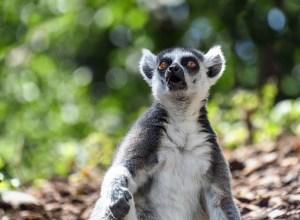 lemurien-surpris-etonne-vertuchou