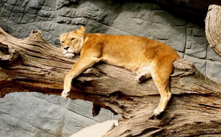 lion-fatigue-couche-atonie