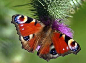 papillon-orange-versatile