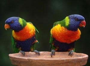 perroquets-repetent-psittacisme
