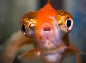 poisson-gros-yeux-bouche-oligophrenie