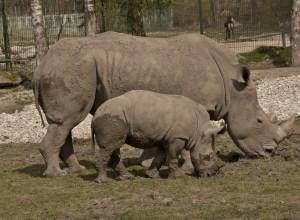 rhinoceros-pere-fils-atavique