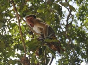 singe-crie-fustiger
