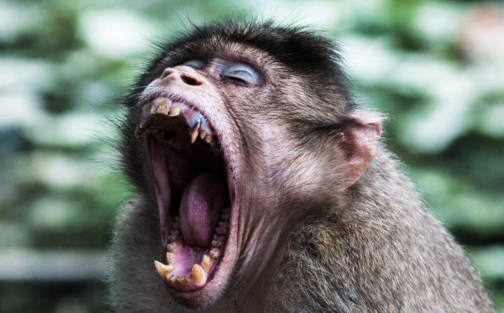 singe-hurle-invective