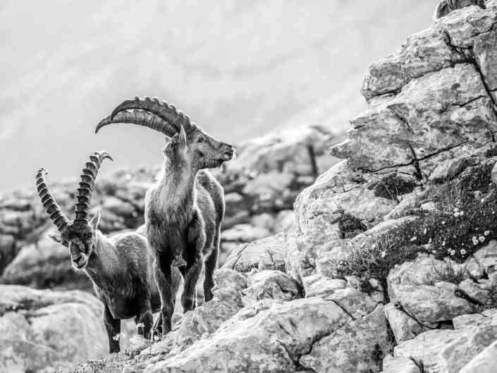 Jonas Schäfer Fotografie Spiez Berner Oberland Diemtigtal Tiere Tierfotografie Wandbilder Steinböcke Steinbock