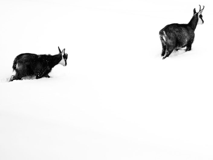 Schweiz, Kanton Bern, Berner Oberland, Jungfrau Region, Lauterbrunnental, Gämse, Gamskits, Alpentiere, Tiere der Alpen, freilebende Tiere, Tiere, Säugetiere