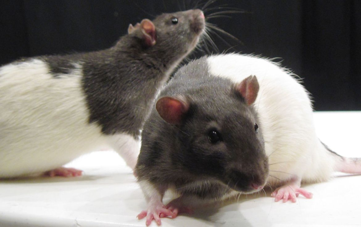 Rats Animals Used In Education