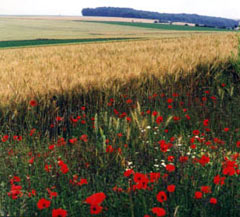 poppies-in-flanders.jpg