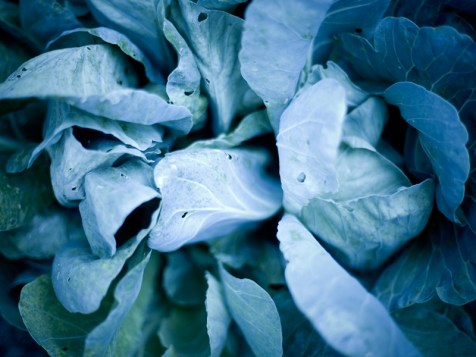 Cabbage from the Vegetation Series by St. Louis Photographer Jonathan Gayman