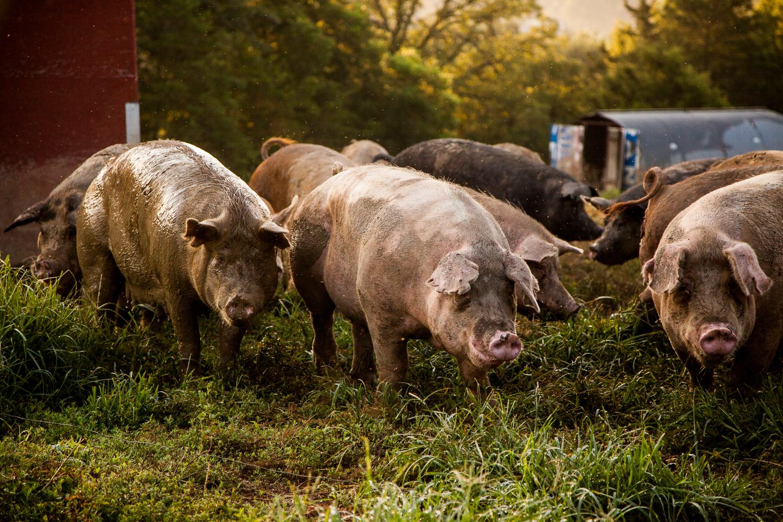 Hogs at Geisert Farm