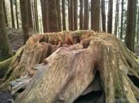 Alishan - hunge trunk
