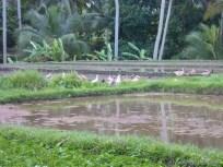 Balinese rice terraces - scenery 4