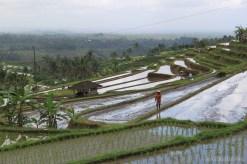 Balinese rice terraces - scenery 5