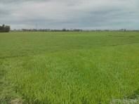 Hoi An - biking rice fields 6