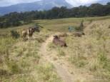 Mount Rinjani - day three cow trail