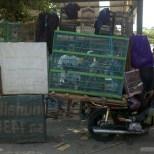 Yogyakarta - bird market 7