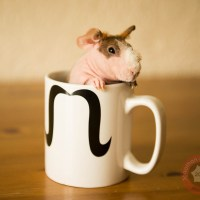 Videographer work from 2013 - Bald pets, skinny pigs & dogs