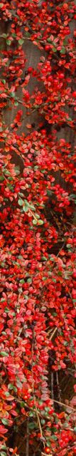 cotoneaster-banner